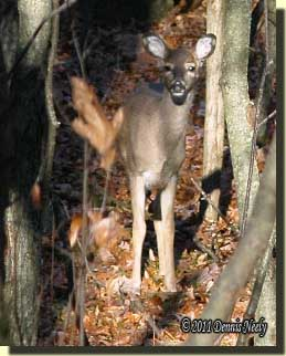 The young deer walked on the trail.