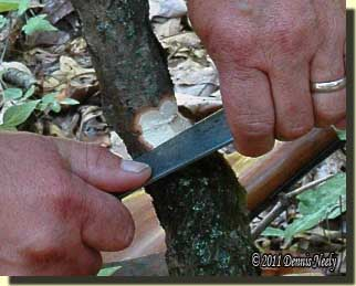 Guiding the butcher knife with both hands was safer and notched the sapling faster.