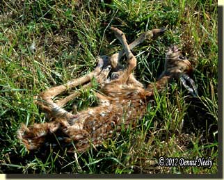 The remains of the young fawn.