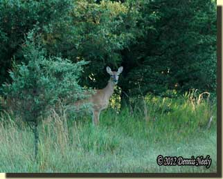 A mature doe standing behind a red cedar tree.