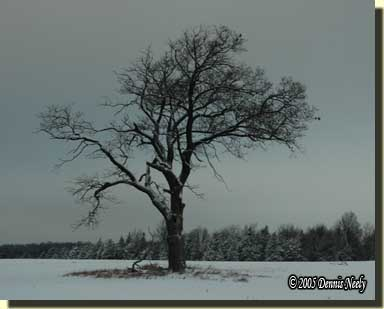 The old red oak tree standing bare on a gray winter's day.