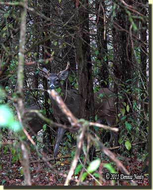 A seven point buck standing and watching his back trail.