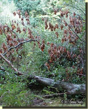 A fallen red oak tree blocked the trail.