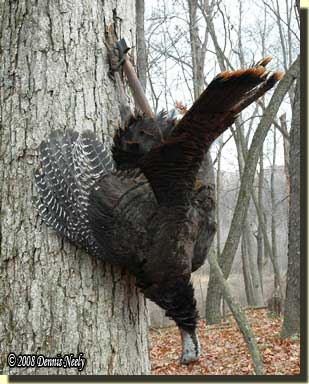 A wild turkey suspended from a belt ax buried in an oak tree.