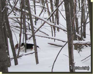 A beagle baying after a snowshoe hare.