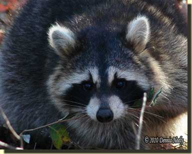A raccoon looks straight on.