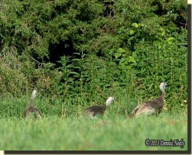 Three wild turkeys walk on the trail.