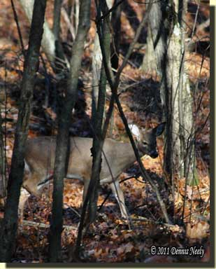 A yearling doe wanders on a lower trail.
