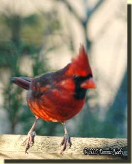A crimson cardinal looks from its perch.