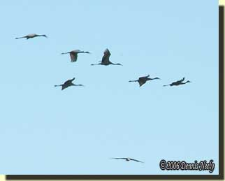 Sandhill cranes flying against a blue sky.