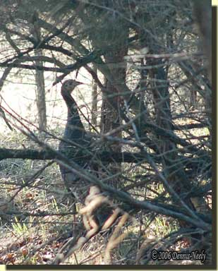 A wild turkey hen wanders through the red cedar trees.