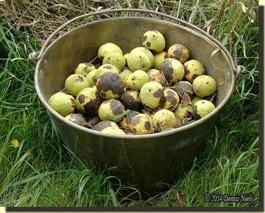 A brass trade kettle filled with fresh walnuts.
