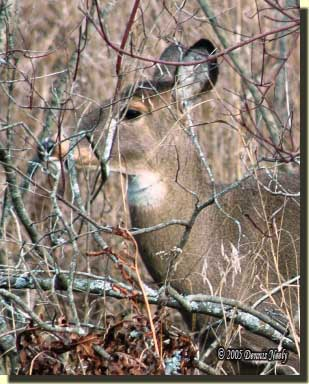 A white-tailed doe looks straight ahead.