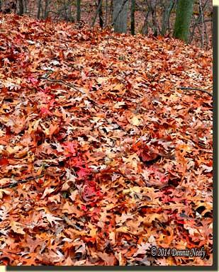 A through-and-through trail on damp oak leaves.