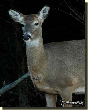 An older white-tailed doe watching the forest.