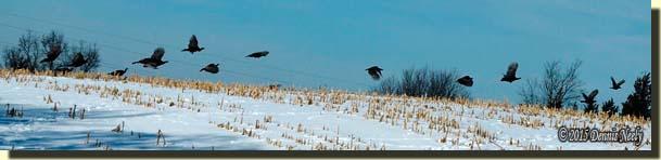 Wild turkeys taking flight over a snow-covered cornfield.