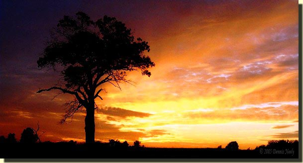An orange and purple sunset backlight an old red oak tree.