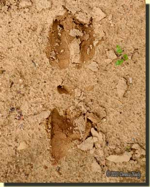 A two-and-a-half-year-old buck's tracks in the sand.