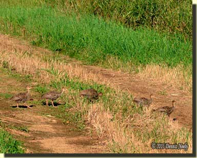Wild turkey poults walk single file across a wagon trail.