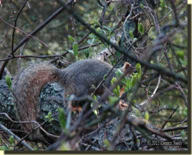 A fox squirrel sits on an oak branch.