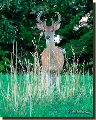 An eight-point buck in velvet standing in the meadow.