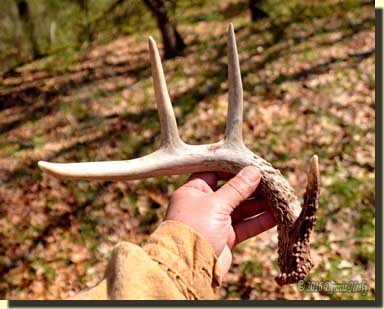 An eight-point buck's right shed antler.