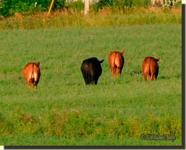 Four steers walking through an alfalfa field.