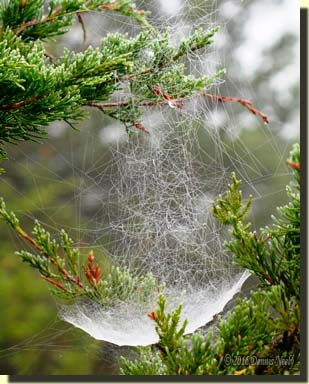 A wet spider web that looks like a schooner.