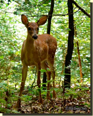 A white-tailed deer fawn looks uphill.