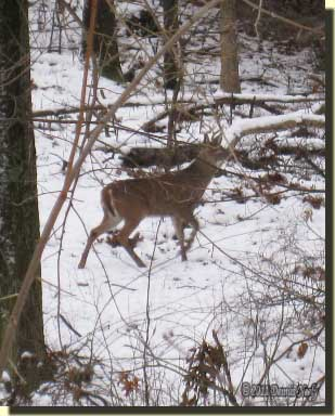 A six-point buck walking in the snow.