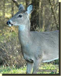 The white-tailed doe paused before stepping into the opening.