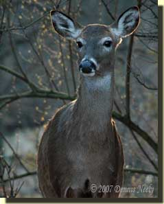 The doe gave a casual glance.