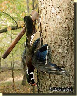At camp, the wood duck hung from a belt ax driven into the trunk of a cherry tree.