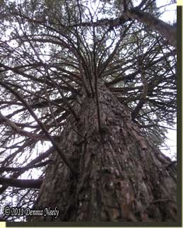 The cedar tree's trunk grew skyward, into the past.