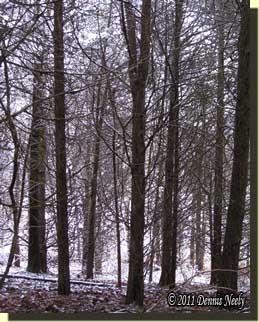 A snowy cedar grove.