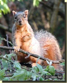 A fox squirrel hesitates on an oak limb.