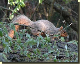 A fox squirrel hesitated on the top of an oak branch.