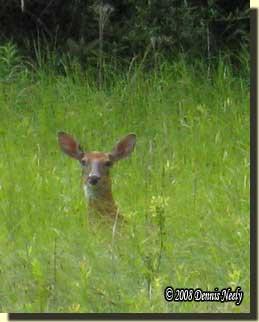 A fine doe standing neck deep in prairie grass.