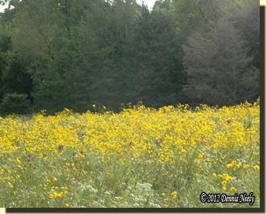 Yellow flowers blanket the fen.