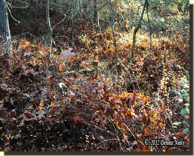 A patch of thigh-deep barberries hid the deer trail.