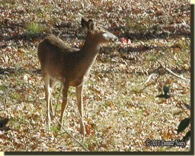 A young anterless deer pauses at the isthmus.