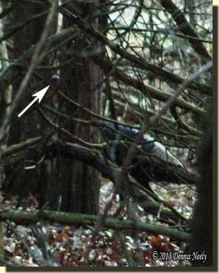 A tom turkey moving behind the tangled branches.