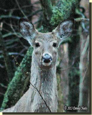 An alert whitetail doe looks straight on.