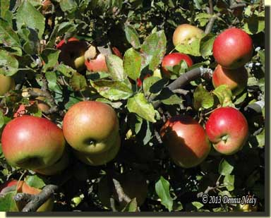 Ripe apples waiting to drop.