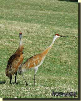 Two Sandhill cranes walking in a field.