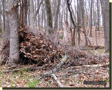 A heavy oak limb destroyed the brush shelter.