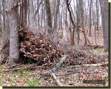A heavy oak limb destroyed the brush shelter.