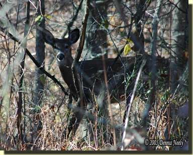 A wary white-tailed button buck.