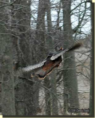 A wild turkey hen flapping her big wings in the timber. her