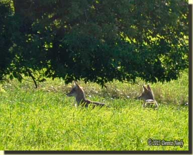 Half-grown coyote pups watching deer in a hayfield.